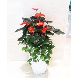紅掌吊蘭盆景