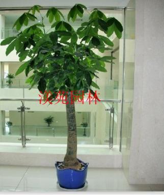 细杆发财树