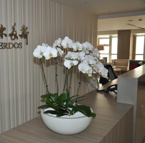 白蝴蝶蘭6株