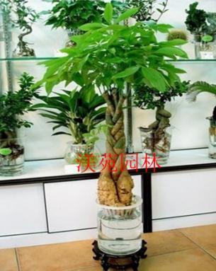 水养发财树