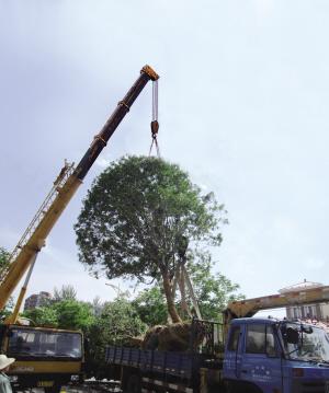 樹木修剪及移植